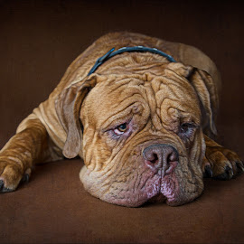 Dog XI by Nathalie Rouquette - Animals - Dogs Portraits ( wrinkles, sad, laying, brown, dog )