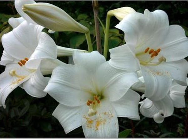 The Easter Lily, also known by its Latin name Lilium longiflorum, has become the...
