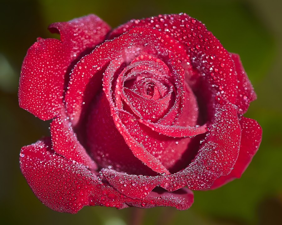 0 Rose 9758~ by Raphael RaCcoon - Flowers Single Flower