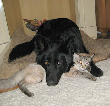 Photo: Ik klem hem gewoon vast, hij blijft wel liggen! Denkt Angel en kijk Sinjo z'n oren.....