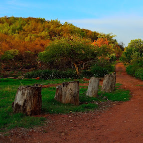 up the golden path by Graeme Wilson - Landscapes Prairies, Meadows & Fields ( hill, kopje, path, trees, stumps, walk, hike )