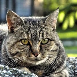 by Jan Tlustý - Animals - Cats Portraits