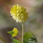 Field clover