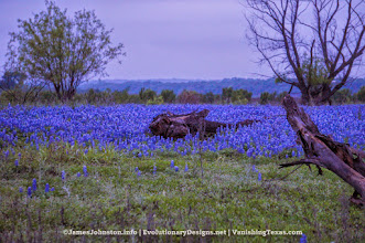 Photo: Muleshoe Bend Recreation Area is a large (6.5 miles of bike trails) that is covered with bluebonnets in the spring.  Bluebonnets found during the Hill Country road trip.  #bluebonnets #TexasWildFlowers #WildFlowers #VanishingTexas  © James Johnston - www.EvolutionaryDesigns.net/ | JamesJohnston.info/ | www.VanishingTexas.com/