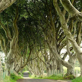 The Dark Hedges, Northern Ireland by Ludwig Wagner - Nature Up Close Trees & Bushes ( fence, hedge, trunk, tree, road, beech tree, lane )