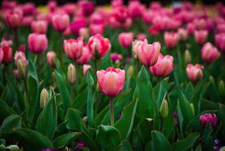 Photo: #tulips #flower #canberra #floriade #floriade2015 +HQSP Flowers