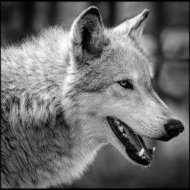 Gray Wolf by Dave Lipchen - Black & White Animals ( gray wolf )