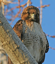 Photo: Red Tailed Hawk giving me the 1-talon-threat - Fremont, CA
