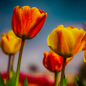 by Şahin Kaplan - Flowers Flower Gardens