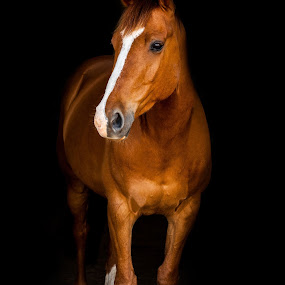 Irish Draught x Arab Gelding  by Vicki Roebuck - Animals Horses ( equine photography, horse portrait, arab, irish draught, horse, gelding )