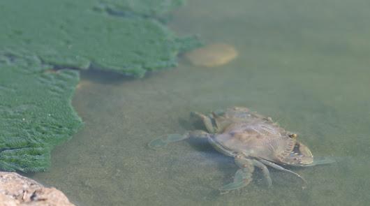 El inquietante cangrejo azul se extiende por toda la provincia