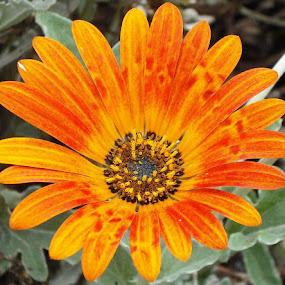 Estrela do Meio Dia by Antonio Cacilhas - Nature Up Close Flowers - 2011-2013