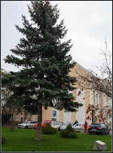 Photo: Conifere , din Turda, Piata 1 Decembrie 1918, spatiu verde - 2018.11.23