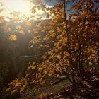 Big Leafed Maple