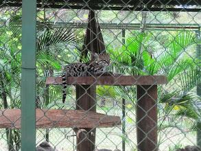 Photo: Ocelot at Monkey Park. Just a beautiful cat.