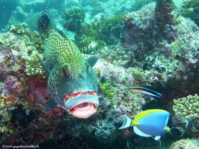 Photo: Mérou Risdael sur le site d'Aquarium-Euro-Divers Club Med Kani.