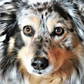 Quinn by Roxanne Dean - Animals - Dogs Portraits ( face, friendly, canine, aussie, dog,  )