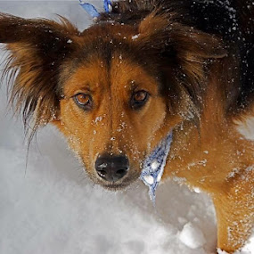 Ryder by Dan Larsen - Animals - Dogs Portraits ( snow dog,  )