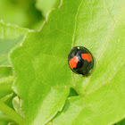 Coelophora saucia 赤星瓢蟲