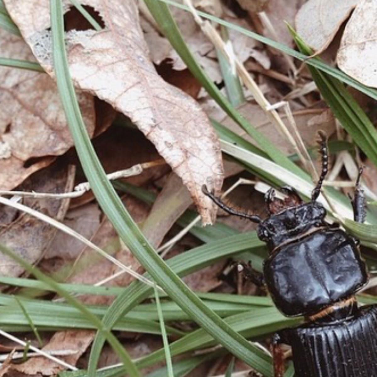 Patent leather beetle, Jerusalem beetle