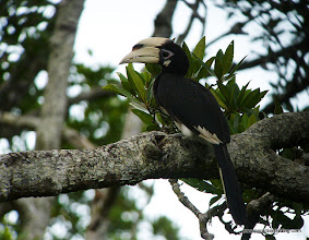 Photo: Pied Hornbill, Labuk Bay