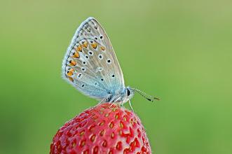 Photo: Polyommatus icarus, Azuré commun  http://lepidoptera-butterflies.blogspot.com/