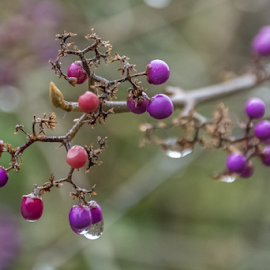 Water by Keith Sutherland - Nature Up Close Trees & Bushes ( water, berry, winter, cold, drops )