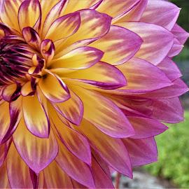 by Denise O'Hern - Flowers Single Flower