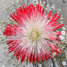 by Mary Gallo - Flowers Single Flower ( nature, single flower, red and white flower, flower,  )
