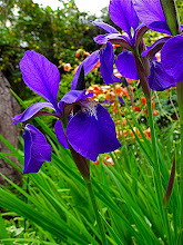 Photo: Siberian iris 'Caesar's Brother'