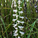 Great Plains Ladies' Tresses