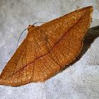 Red Leaf Roller