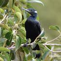 Indian cormorant / Indian shag / நீர்க்காகம்