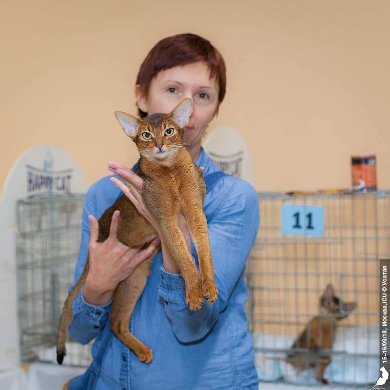 Абиссинская кошка Казань Shafran Belle Baruch