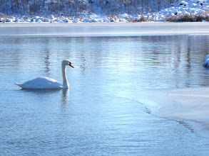 Photo: White swan swimming in a beautiful blue winter lake at Carriage Hill Metropark in Daytion, Ohio.
