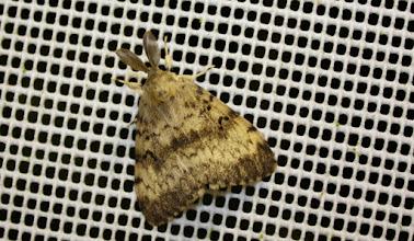 Photo: LYMANTRIA DISPAR     Lepidoptera > Erebidae