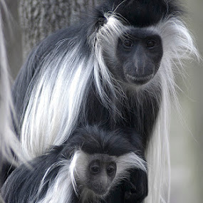 Colobus Monkey by Tom Theodore - Animals Other Mammals ( monkey )
