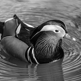 Mandarin by Garry Chisholm - Black & White Animals ( mandarin ducj, nature, bird, garry chisholm )