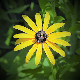 Yellow daisy with a bee by Mary Gallo - Flowers Single Flower ( nature up clsoe, bee, nature, yellow, yellow daisy, garden flower, daisy, insect on flower, nature photography, flower )