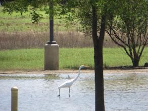 Photo: Parking Lot Egret #2