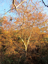 Photo: The golden leaves of western sycamore (Platanus racemosa) speak of changing seasons.