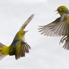 by Trevor Bond - Animals Birds ( silvereyes, waxeyes, bird, nz,  )