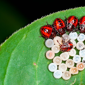 Joint Family by Aparnesh Mukherjee - Animals Insects & Spiders ( babies, macro, eggs, tamron90mm, ringflash, ladybird )