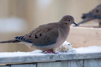 Photo: Mourning Dove