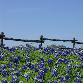 Texas Bluebonnets by Martin Jacobvitz - Nature Up Close Flowers - 2011-2013