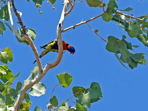 Photo: Day 4 -  Red-collared Lorikeet near Pine Creek © Ian Morris