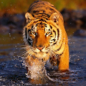 The Tiger icon