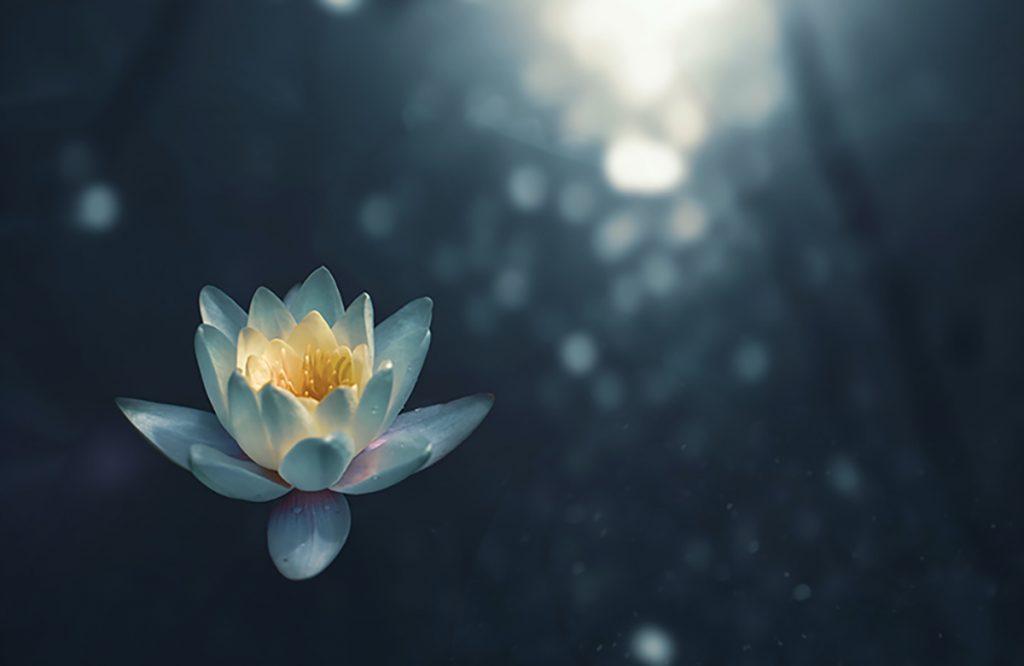 Khi đưa mình vào giấc ngủ, bạn êm ả và thư giãn như một bông hoa sen tĩnh lặng trong đêm vậy.
