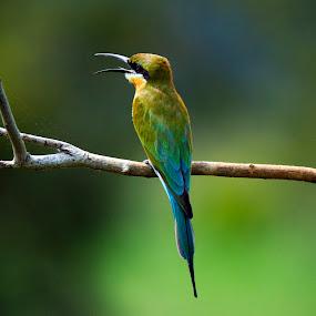 Blue Tailed Bee eater by Madhu Soodanan - Animals Birds