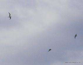 Photo: Elegant Terns cavorting across the sky; northern San Diego County coast